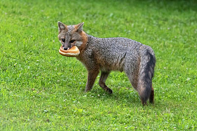 Photograph - Grey Fox With A Sandwich For Lunch by Dan Friend
