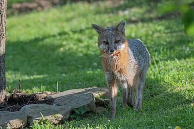 Photograph - Grey Fox With Food In His Mouth by Dan Friend