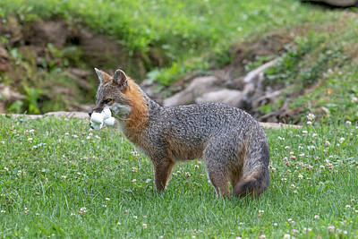 Photograph - Grey Fox With Mouthful Of Marshmallows by Dan Friend