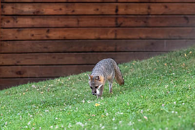 Photograph - Grey Fox With White Mouse by Dan Friend