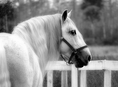 Photograph - Grey Horse by Perry Correll