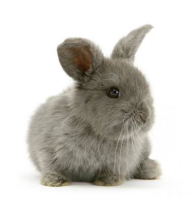 Photograph - Grey Love Bunny by Warren Photographic
