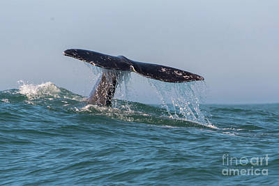 Photograph - Grey Whale Fluke by Tim Moore