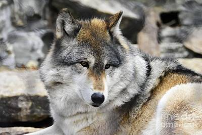Photograph - Grey Wolf by Larry Ricker
