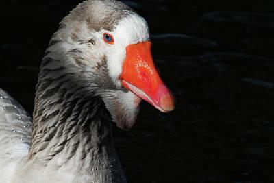 Photograph - Greylag Goose by Karol Livote