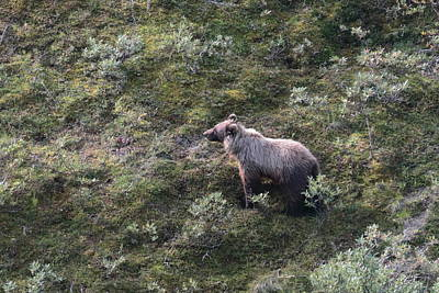 Photograph - Grizzly Bear 9332 by John Moyer