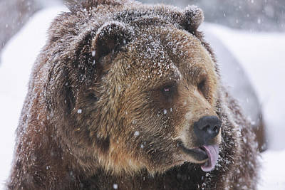Photograph - Grizzly Bear by Brian Cross