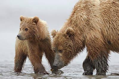 Photograph - Grizzly Bear Ursus Arctos Horribilis by Ingo Arndt/ Minden Pictures