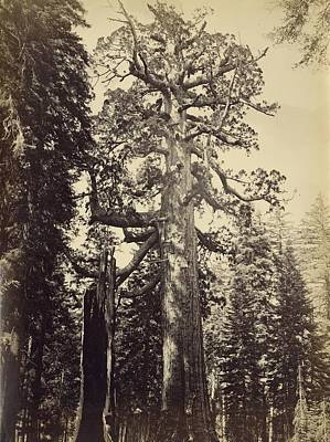 Photograph - Grizzly Giant by Carleton E. Watkins