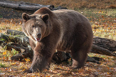 Photograph - Grizzly In The Fall by Teresa Wilson