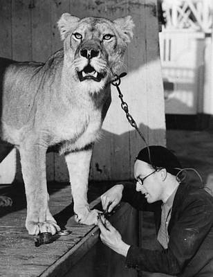 Photograph - Grooming Lioness by Hulton Collection