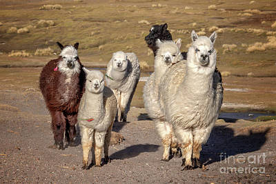 Alpaca Wall Art - Photograph - Group Of Alpacas by Delphimages Photo Creations