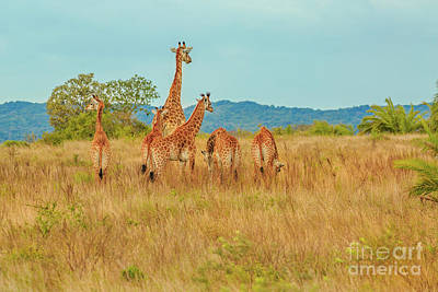 Photograph - Group Of Giraffe by Benny Marty