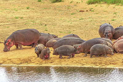Photograph - Group Of Hippos by Benny Marty
