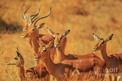 Photograph - Group Of Impala by Benny Marty