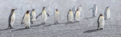 Animals Paintings - Group of King Penguins in the Snow by Alan M Hunt