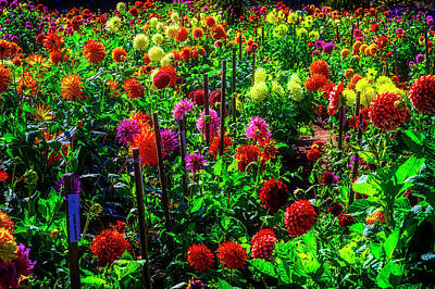 Photograph - Growing Dahlias by Garry Gay