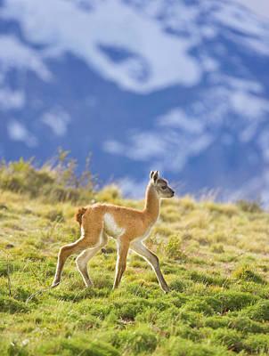 Photograph - Guanaco Calf Walking On Grassy Slope by Eastcott Momatiuk