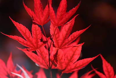 Guardsman Red Japanese Maple Leaves Art Print