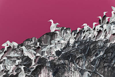 Photograph - Guillemots On Farne Island Rock Uk by Jean Gill