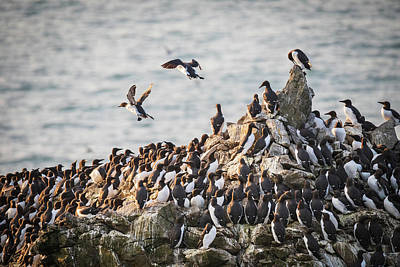 Elliott Coleman Royalty-Free and Rights-Managed Images - Guillemots on Stack Rocks by Elliott Coleman