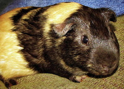 Photograph - Guinea Pig by Tikvah's Hope