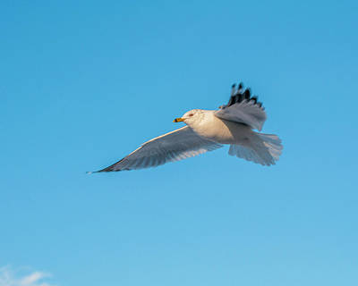 Photograph - Gull In Flight 1 by Cathy Kovarik