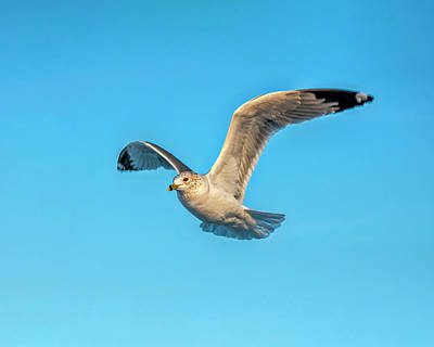 Photograph - Gull In Flight 2 by Cathy Kovarik