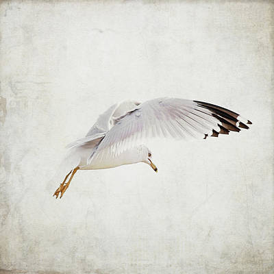 Photograph - Gull In Flight by Copyright By June Marie Sobrito