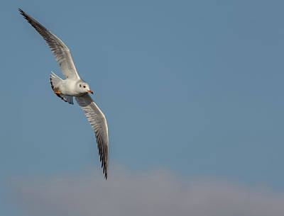 Photograph - Gull In Flight by Scott Lyons