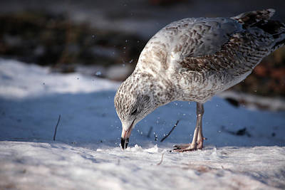 Photograph - Gull In Snow by Karol Livote
