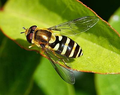 Photograph - Hairy-eyed Hoverfly by KJ Swan