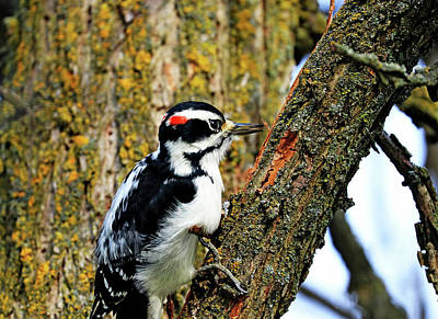 Catch Of The Day - Hairy Woodpecker At Work by Debbie Oppermann