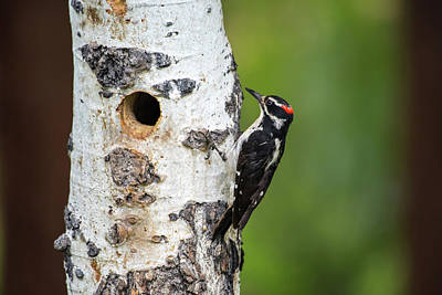 Photograph - Hairy Woodpecker by David Morefield