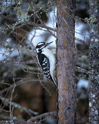 Photograph - Hairy Woodpecker In The Bog by Susan Rissi Tregoning
