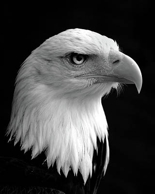 Eagle Photograph - Haliaeetus Leucocephalus Bald Eagle by Saffron Blaze