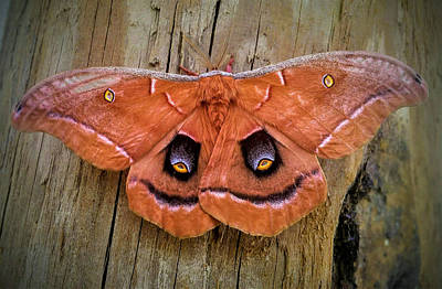 Photograph - Halloween Moth by Vincent Autenrieb