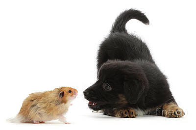 Photograph - Hamster And Puppy Face-off by Warren Photographic