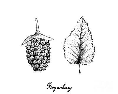 Rusty Trucks - Hand Drawn of Fresh Boysenberry on White Background by Iam Nee