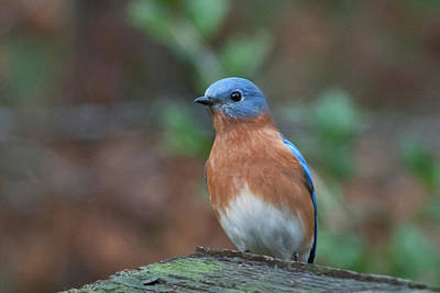 Photograph - Handsome Male Eastern Bluebird by Cascade Colors