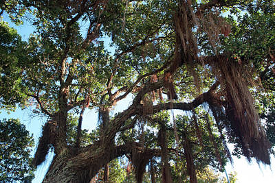 Photograph - Hanging Vine Tree by Mark Dodd