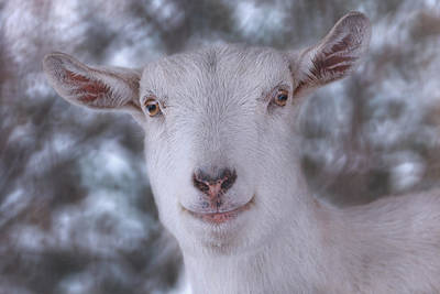 Photograph - Happy Goat  by Brian Cross