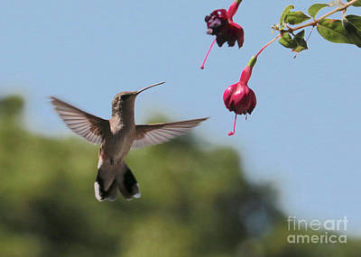 Photograph - Happy Hummingbird With Fuchsia by Carol Groenen