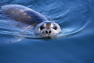 Photograph - Harbor Seal Phoca Vitulina Swimming by Eastcott Momatiuk
