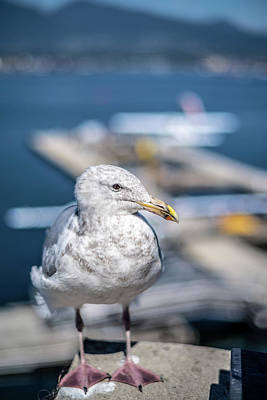 Photograph - Harbour Gull by Ross G Strachan