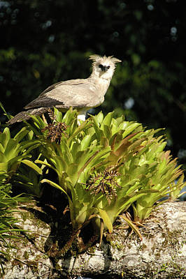 Eagle Photograph - Harpy Eagle Harpia Harpyja Recently by Pete Oxford/ Minden Pictures