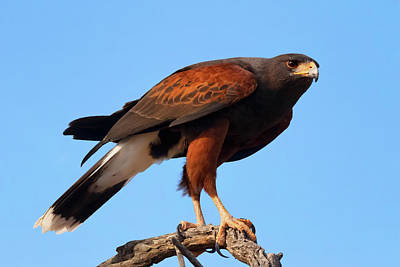 Photograph - Harris Hawk On The Hunt  by Kathleen Bishop