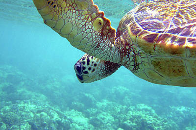 Photograph - Hawaiian Sea Turtle In Blue Water Above by Back In The Pack Dog Portraits