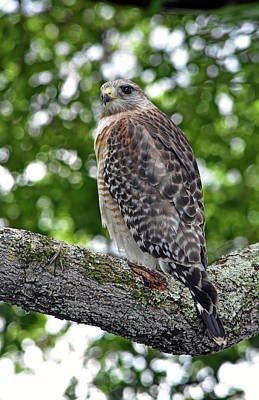 Photograph - Hawk Branching Out by William Tasker