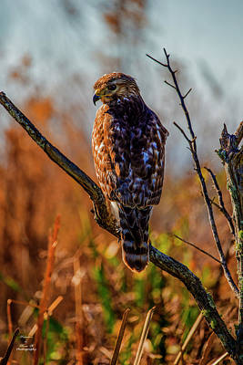 Photograph - Hawk Eye by Kevin Banker